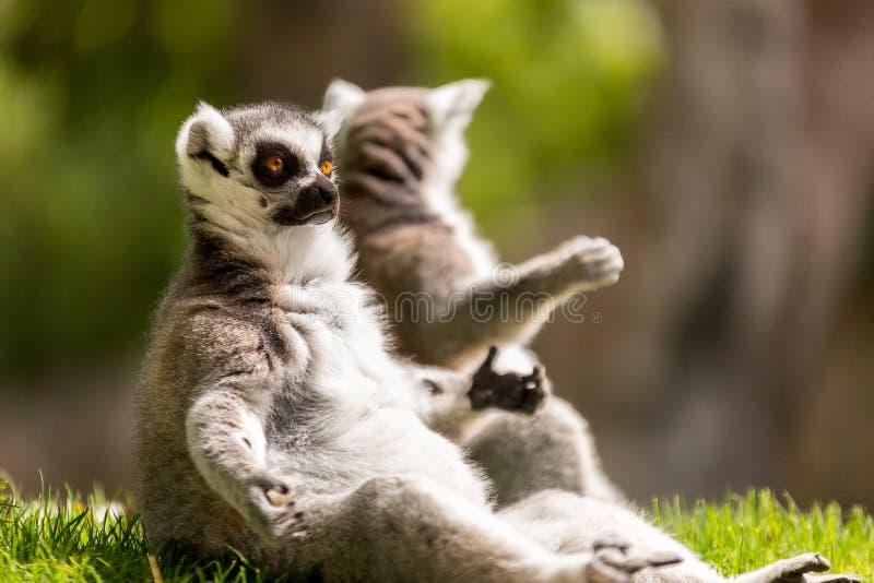 Lémures que esperan fotos de archivo libres de regalías