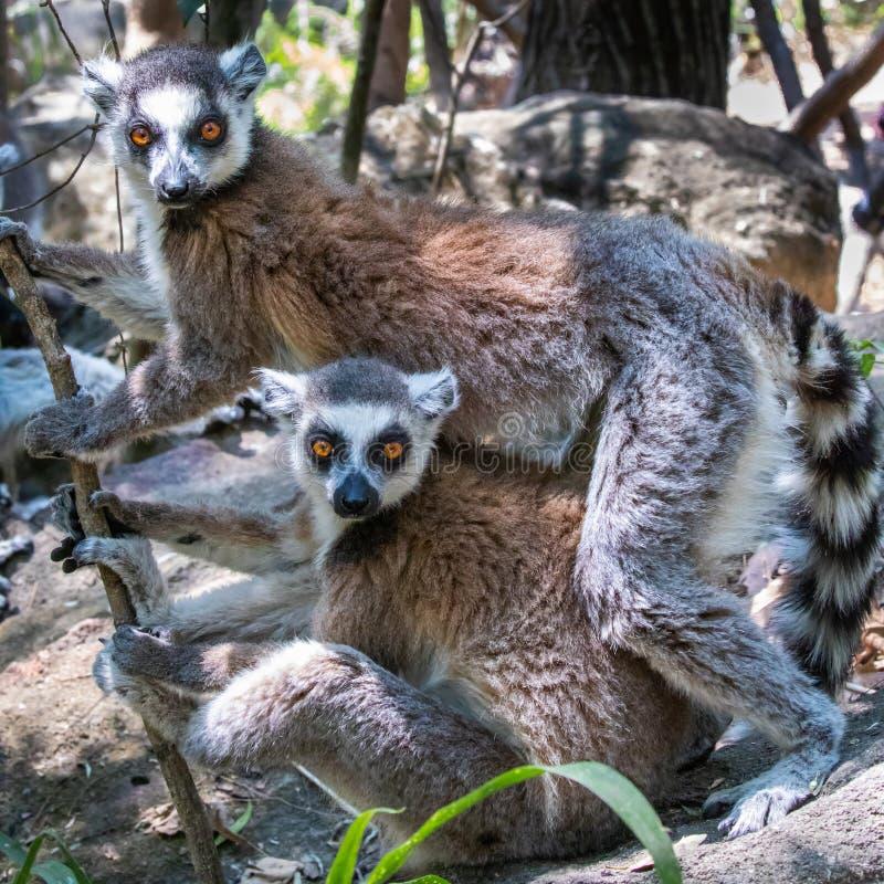 Lémurs coupés la queue droits photos libres de droits