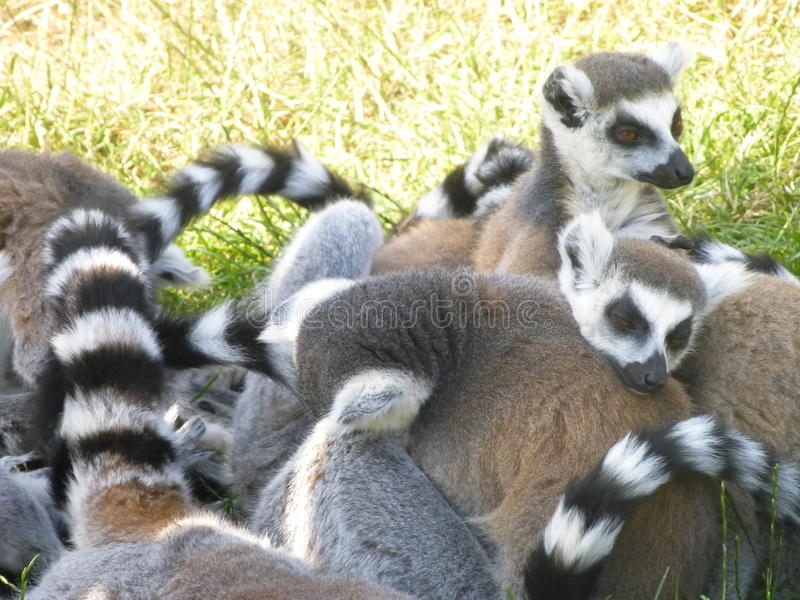 Lémurs coupés la queue par anneau images libres de droits