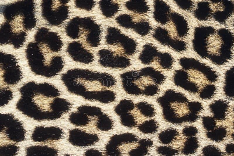 Léopard images stock