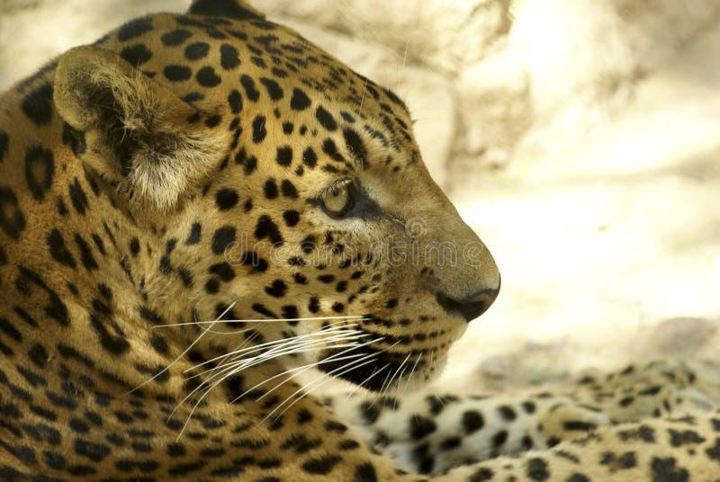 Léopard image stock