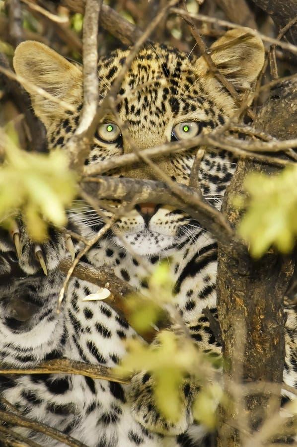 léopard photo stock