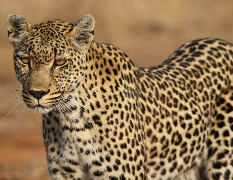 Léopard africain au parc national de Kruger image stock