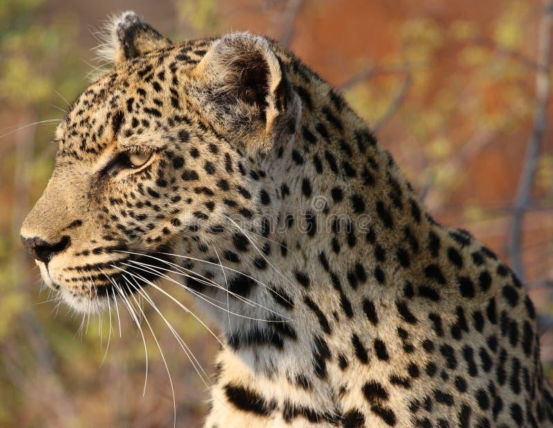 Léopard africain au parc national de Kruger photo stock