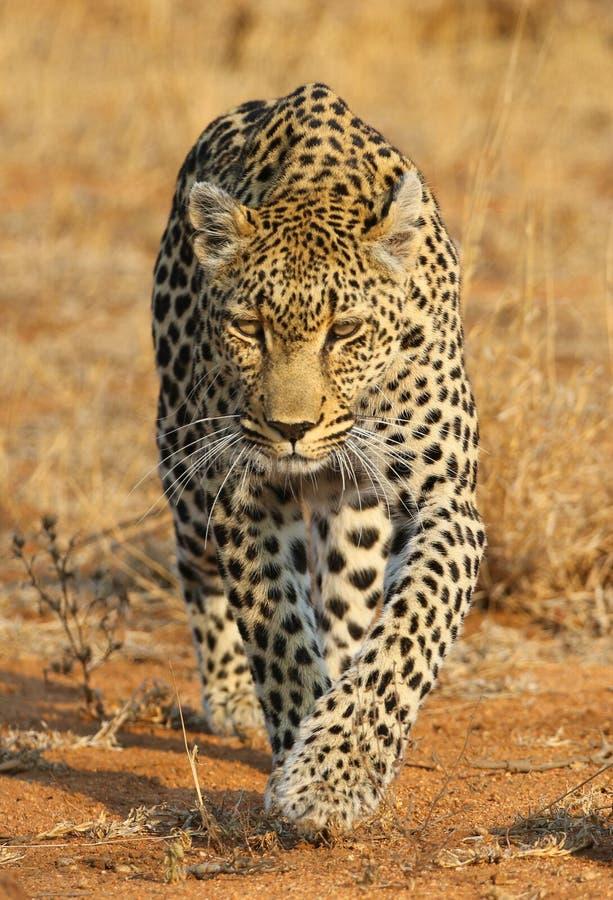 Léopard africain au parc national de Kruger photos stock
