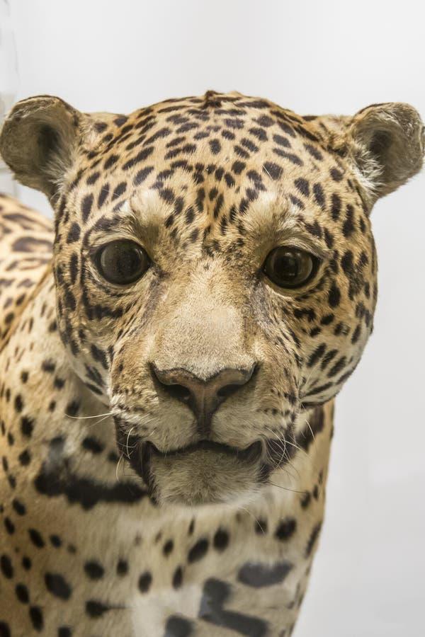 Léopard bourré au musée de Harvard de l'histoire naturelle, Boston, le Massachusetts image stock