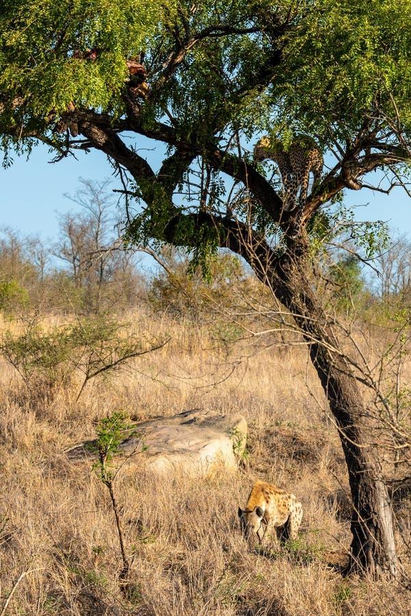 Léopard dans l'arbre défendant les restes de sa mise à mort contre une hyène photo stock