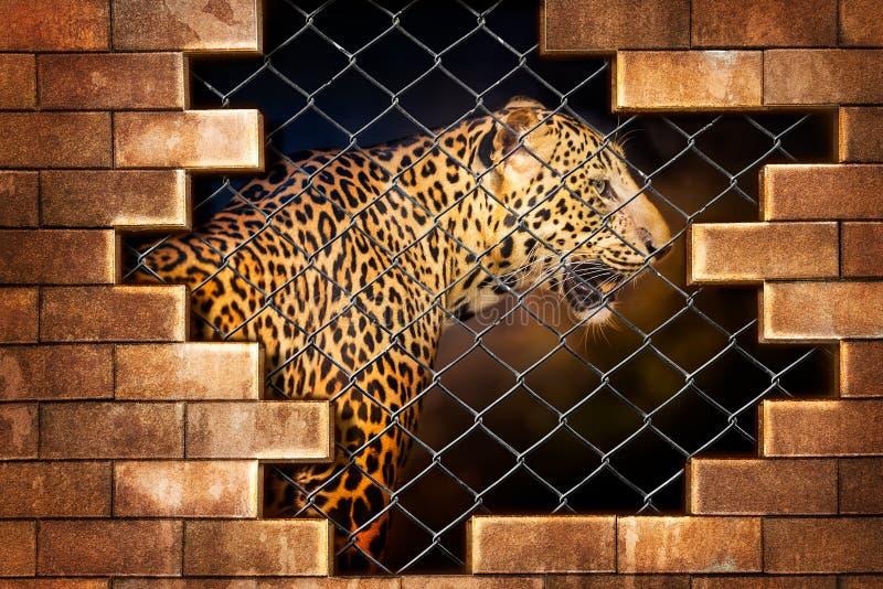 Léopard dans la cage images libres de droits