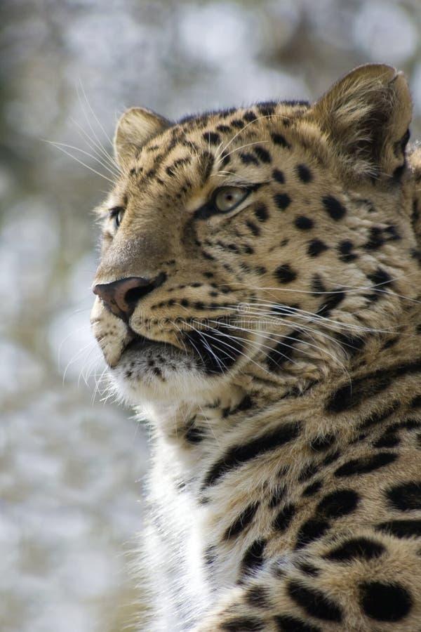 Léopard dans les arbres images stock