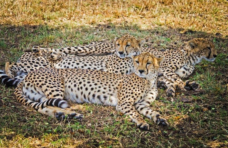 Léopard dans leur habitat naturel dans la savane africaine Les RP photographie stock