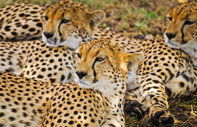 Léopard dans leur habitat naturel dans la savane africaine Les RP image stock