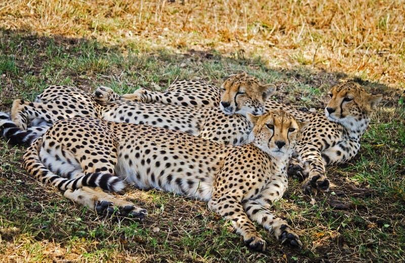 Léopard dans leur habitat naturel dans la savane africaine Les RP photos libres de droits