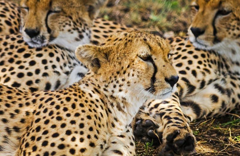Léopard dans leur habitat naturel dans la savane africaine Les RP images stock