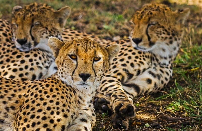 Léopard dans leur habitat naturel dans la savane africaine Les RP photo libre de droits