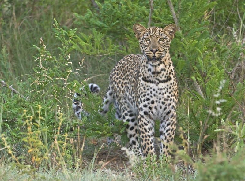 Léopard de Biyamiti photos stock
