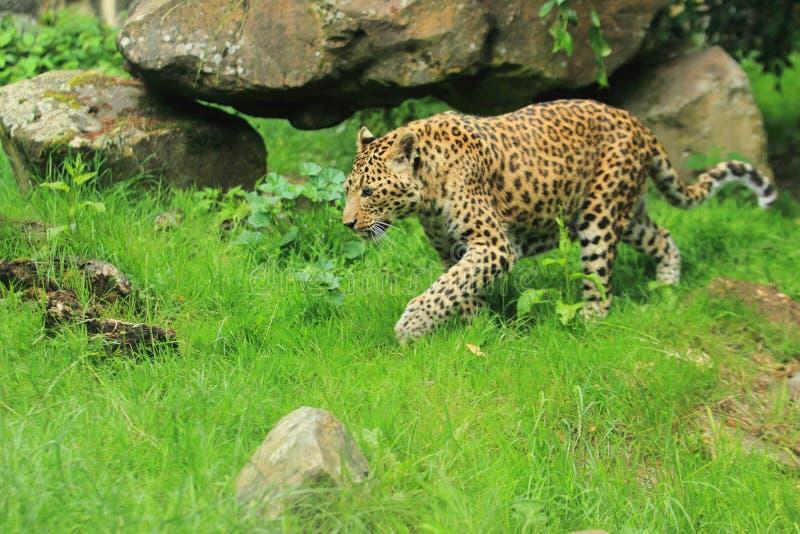 Léopard de Chine du Nord images libres de droits