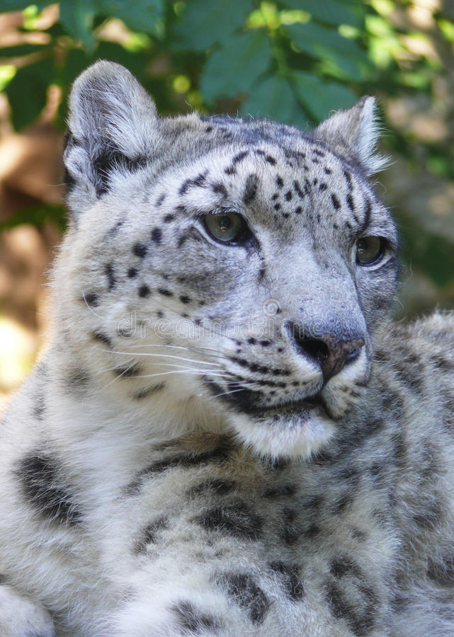 Léopard de neige photographie stock