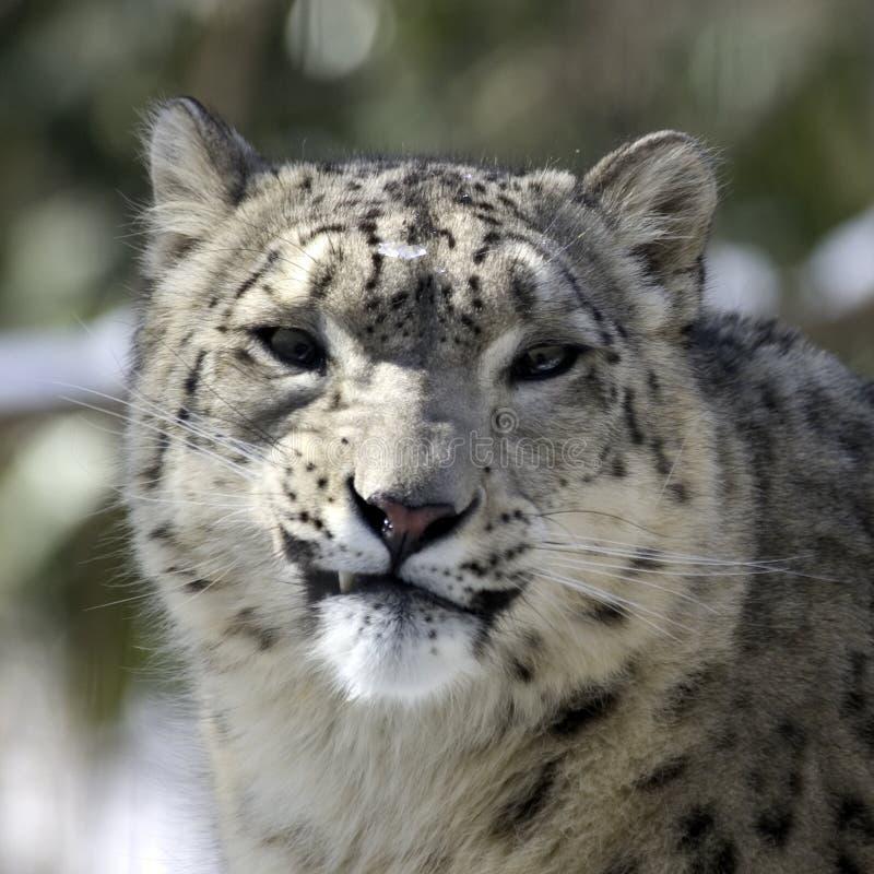 Download Léopard de neige image stock. Image du yeux, mammifères - 84827