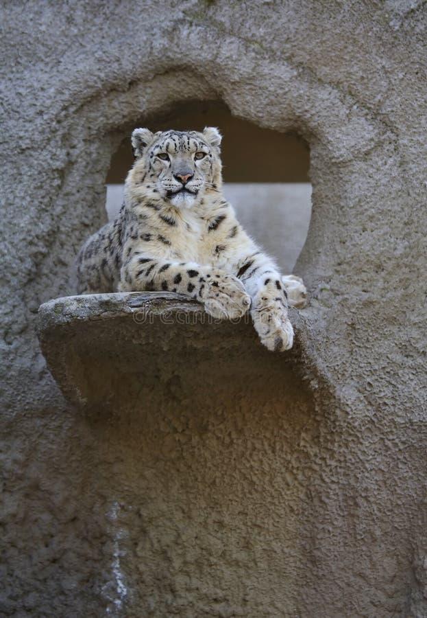Léopard de neige photo libre de droits