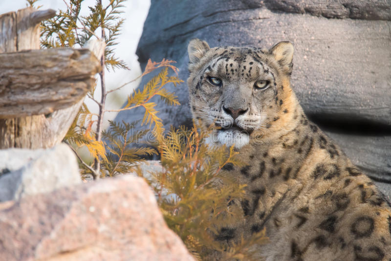 Léopard de neige avec des roches et des arbres photo libre de droits