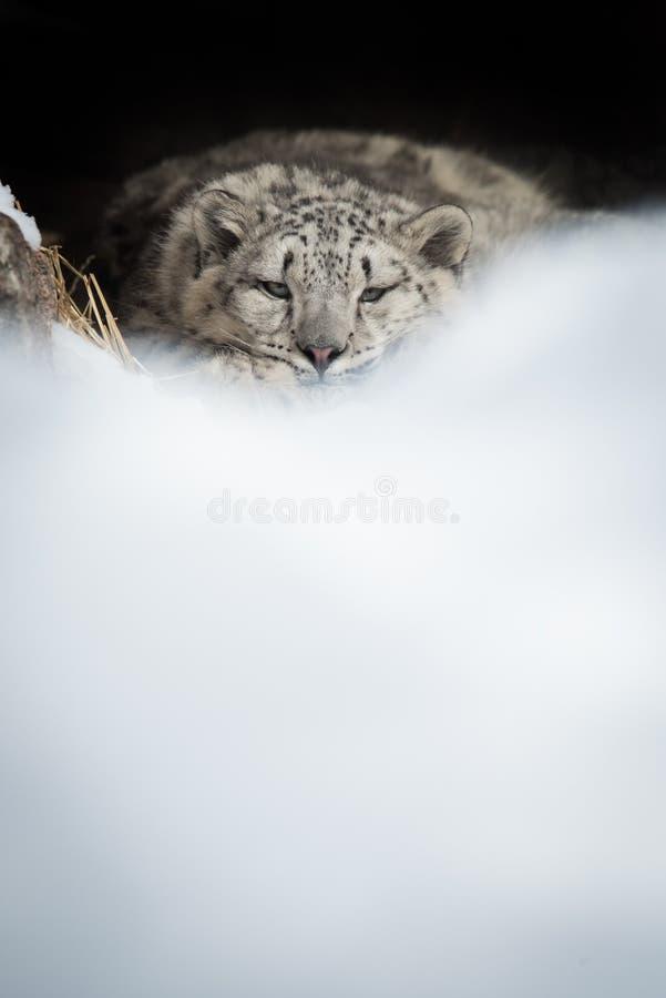 Léopard de neige CUB se reposant dans le repaire images stock
