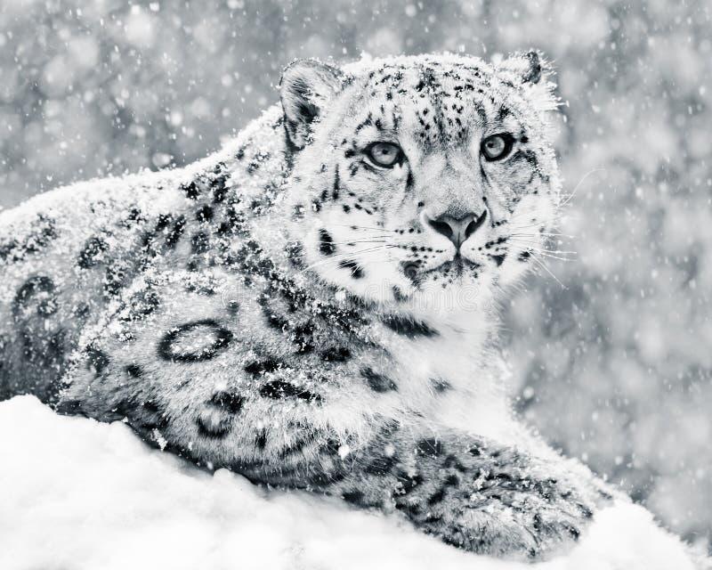 Léopard de neige dans la tempête III de neige photo libre de droits