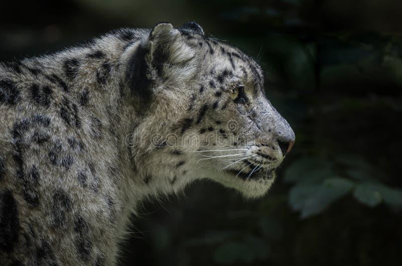 Léopard de neige - Irbis photos libres de droits