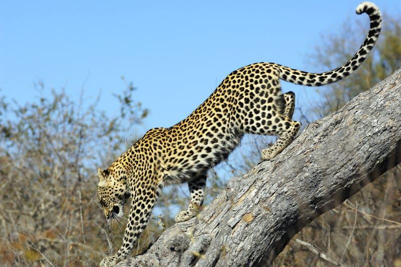 Léopard descendant un arbre photographie stock