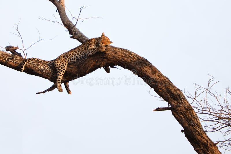 Léopard dormant dans un arbre image stock