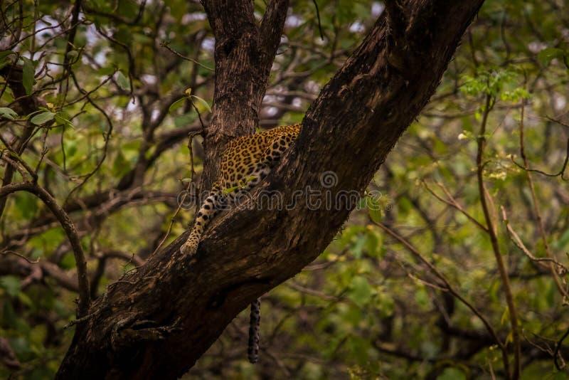 Léopard dormant pendant un moment sur l'arbre au secteur de forêt de kabini photos libres de droits