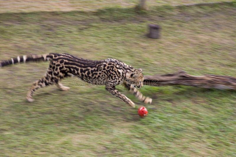 Léopard en parc national de montagne de Tableau à Cape Town photos libres de droits