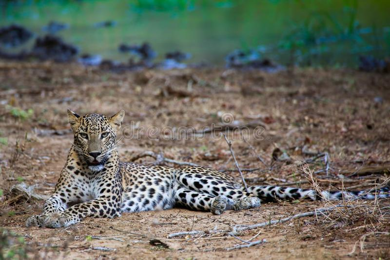 léopard en parc national de yala image stock