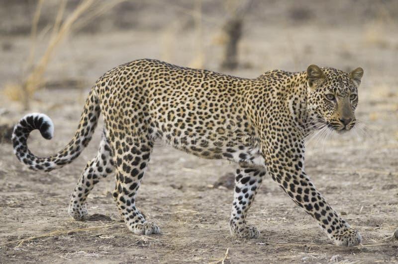 Léopard en parc national du sud de Luangwa image stock