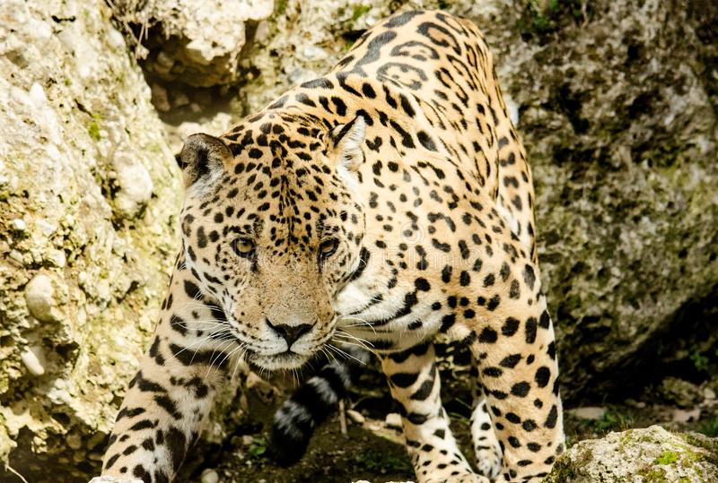Léopard, Jaguar, animal terrestre, faune photo libre de droits