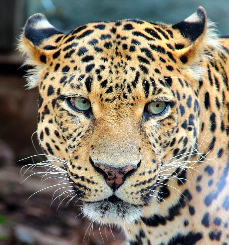Léopard, Jaguar, panthère image libre de droits