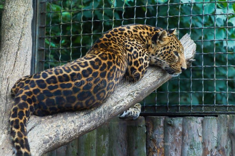 Léopard, kotiya de pardus de Panthera, prédateur image libre de droits