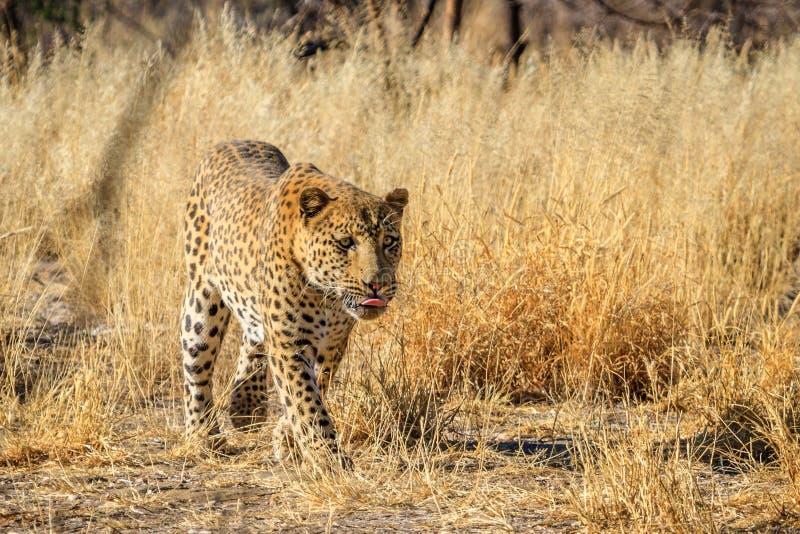 Léopard masculin marchant le long d'une voie en Namibie, Afrique photographie stock libre de droits