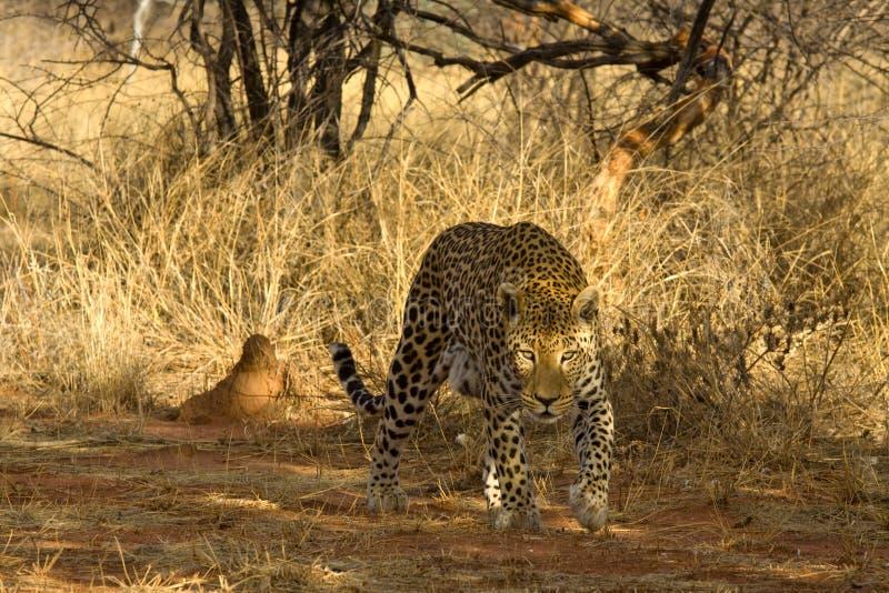 Léopard masculin, Okonjima, Namibie images stock