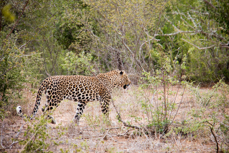 Léopard masculin sur le vagabondage photos stock