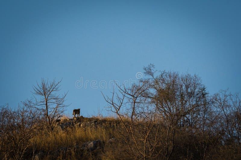 Léopard ou panthère dans son trône avec un ciel bleu au sommet des collines dans une forêt de jhalana, Jaipur photos stock