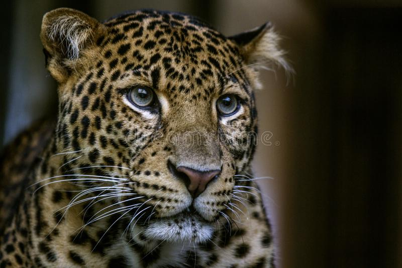 Léopard sauvage de portrait sur le fond foncé photos libres de droits