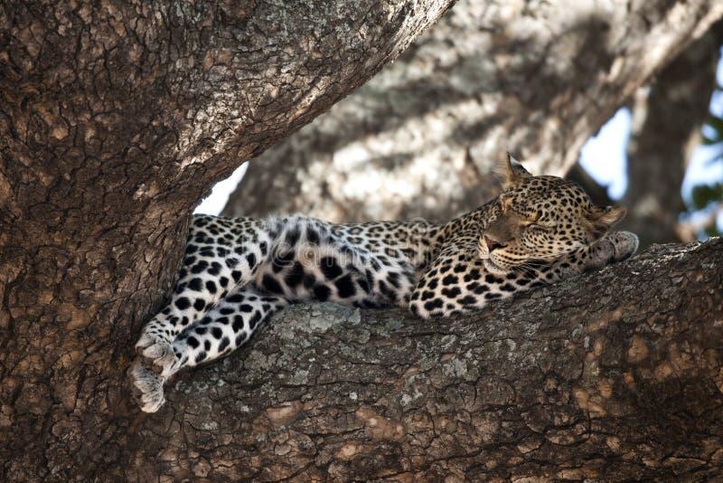 Léopard se reposant dans l'arbre, Serengeti, Tanzanie image stock
