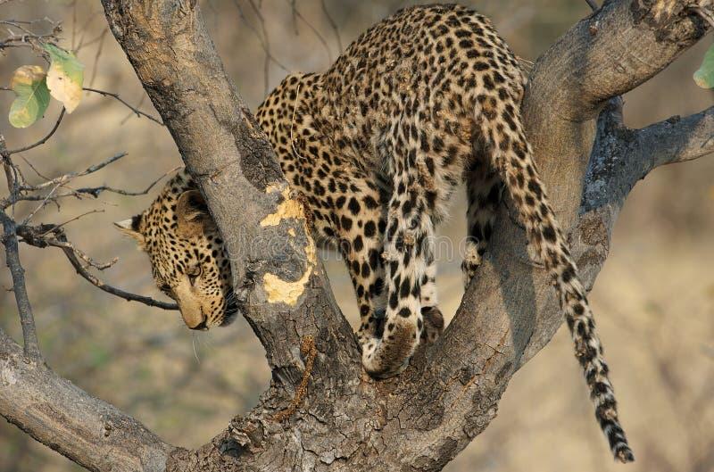Léopard sur un arbre photo libre de droits