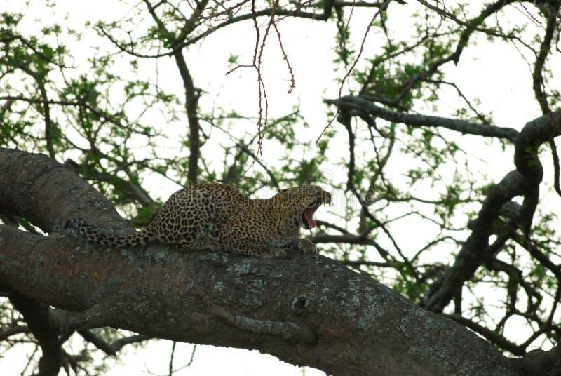 Léopard sur une branche, parc national de Serengeti, Tanzanie image libre de droits