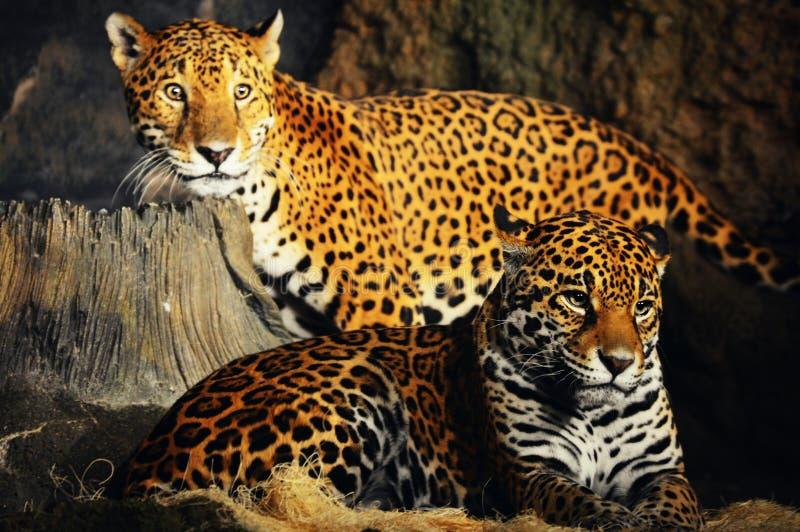 léopards photo libre de droits