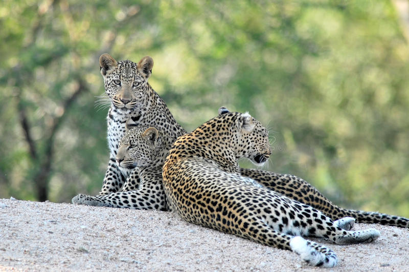 3 léopards africains ensemble photos stock