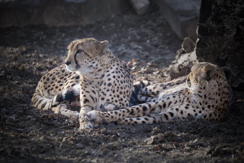 Léopards d'Amur photo stock