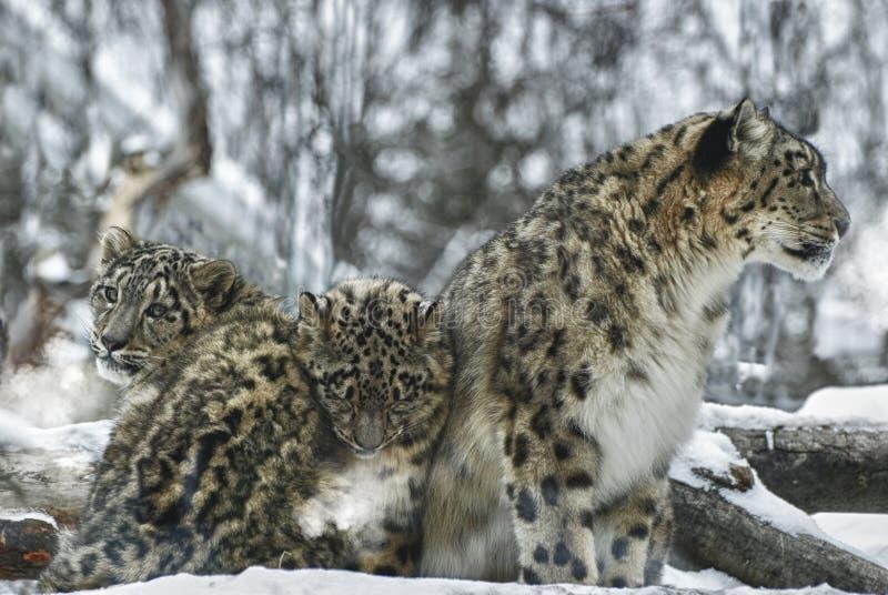 Léopards de neige photos libres de droits