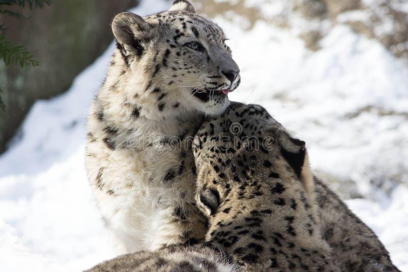 Léopards de neige photographie stock