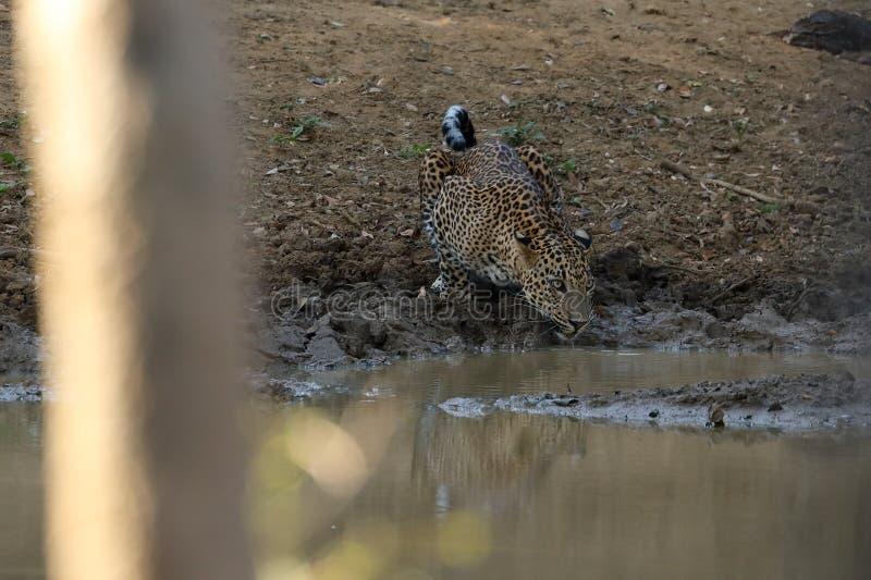 Léopards en parc national de Yala de Sri Lanka photos stock